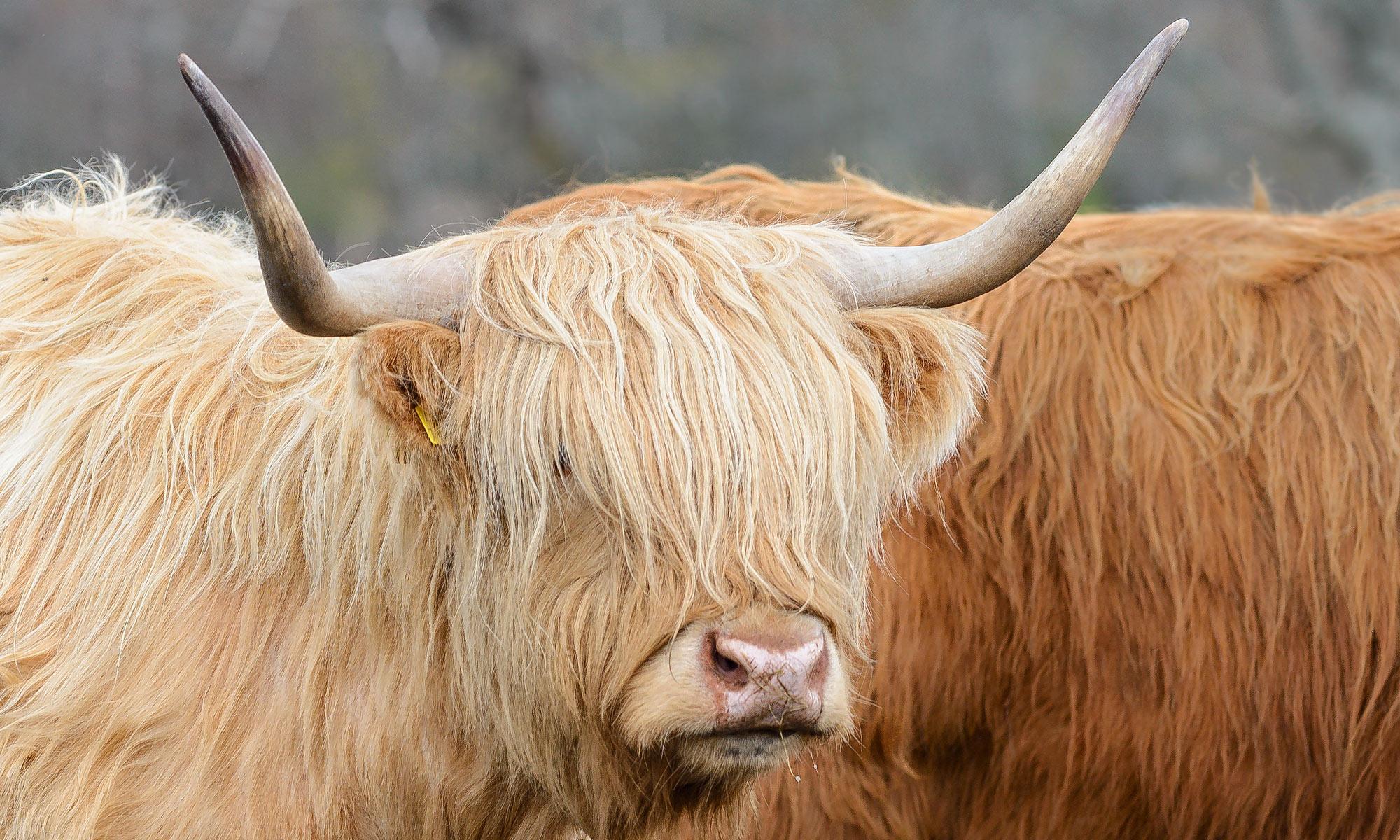 Highland Cattle, Hochlandrinder